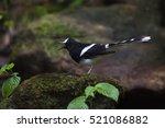 beautiful black and white bird  ...   Shutterstock . vector #521086882