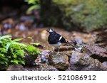 beautiful black and white bird  ...   Shutterstock . vector #521086912