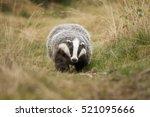 european badger | Shutterstock . vector #521095666
