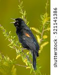 Red Winged Blackbird  Sturnell...