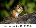 Eastern Chipmunk   Tamias...