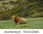 Cows In Pasture In Mountains O...