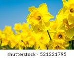 Yellow Daffodil Flowers...