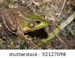 a bullfrog sits at the edge of... | Shutterstock . vector #52127098