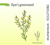 Dyer's Greenweed Or Dyer's...