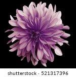 violrt pink flower on a black   ... | Shutterstock . vector #521317396