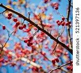 red berries on branch. autumn...   Shutterstock . vector #521397136