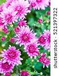 colorful autumnal chrysanthemum ...   Shutterstock . vector #521397322