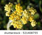 Yellow Flowers Of Helichrysum...