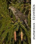 Small photo of Northern Goshawk (Accipiter gentilis)