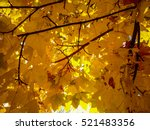 gold yellow maple leaves in... | Shutterstock . vector #521483356