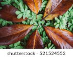 Texture Of The Big Leaf Of...