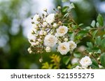 Stock photo white rose in a garden 521555275