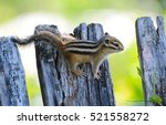 Chipmunk Small Striped Rodent...