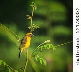Small photo of Asian golden weaver is found in Cambodia, Indonesia, Laos, Myanmar, Thailand, and Vietnam.