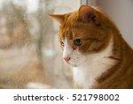 Red Cat Looking Rain In Window