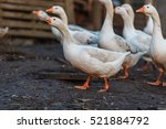 Geese In The Henhouse
