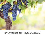 bunches of red wine grapes on... | Shutterstock . vector #521903632