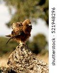 Small photo of Adult male of Booted eagle. dark morph . Aquila pennata