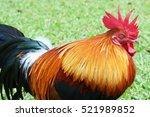 Colorful Rooster Is Sleeping O...