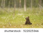 European Brown Bear Cub ...