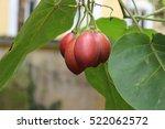 Tamarillo  Tree Tomato  With...