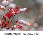 Snow On Red Leaves Of Wild Rose
