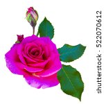 Roses Flowers It Is Isolated A...