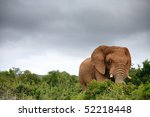 Постер, плакат: Elephant in Addo Elephant