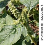 Small photo of Weed and medicinal plant Amaranthus retroflexus (red-root amaranth, redroot pigweed, common amaranth) inflorescence