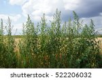 common weed and medicinal plant ... | Shutterstock . vector #522206032