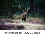 Solitary Red Deer Stag With Bi...