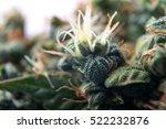 beautiful medical cannabis... | Shutterstock . vector #522232876