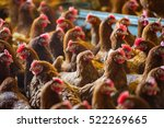 Chicken In A Crowded Barn