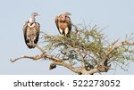 White Backed Vultures  Gyps...