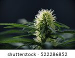 cannabis flower   blooming... | Shutterstock . vector #522286852