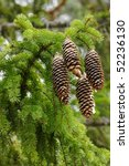 Small photo of Pinecones of Norway Spruce