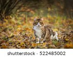 kuril bobtail russian cat... | Shutterstock . vector #522485002