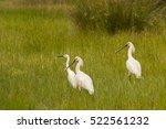 Three Pretty White Herons...