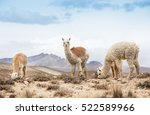 lamas in andes mountains  peru | Shutterstock . vector #522589966