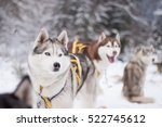 Driver And Siberian Husky