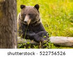 wild eastern slopes grizzly... | Shutterstock . vector #522756526