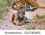 eight month cub of royal bengal ... | Shutterstock . vector #522782692
