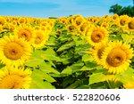 sunflowers field  summer...   Shutterstock . vector #522820606