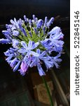 Small photo of purple love flower, African Lily