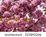 cherry tree full with flowers   ... | Shutterstock . vector #522893206