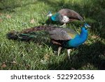 Two Peacocks On The Grass