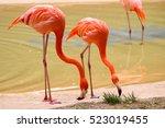 flamingo awesome flamingo... | Shutterstock . vector #523019455