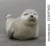 a young grey seal pup that's a... | Shutterstock . vector #523097602
