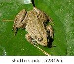 green frog | Shutterstock . vector #523165